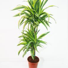 Plantas de interior e exterior - Plantas de interior altas ...