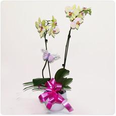 Orquídea Phalanopsis
